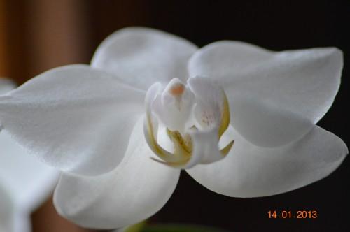 mesanges à longues queues,orchidées,neige2013 029.JPG