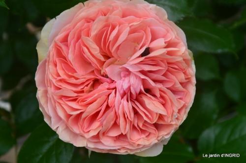Colombier,Cadouin,jardin,roses,pluie 048.JPG