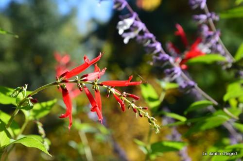 ménage automne,plectanthrus,feuillages 008.JPG