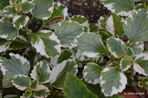 jardin,asters,fleurs blanches,chatte,rosiers roses 146.JPG