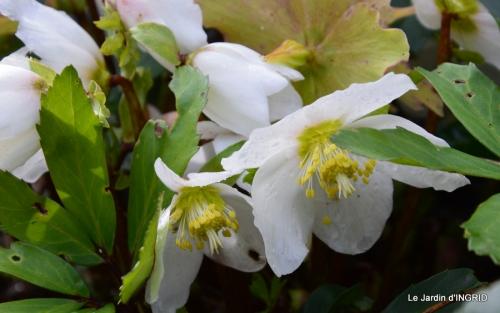 hélébores,bruyères,arbustes fleuries,mésanges 005.JPG