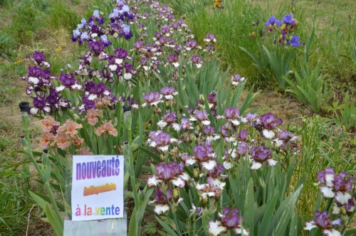 serre,iris,ancolie,iriseraie Papon,moulin 159.JPG