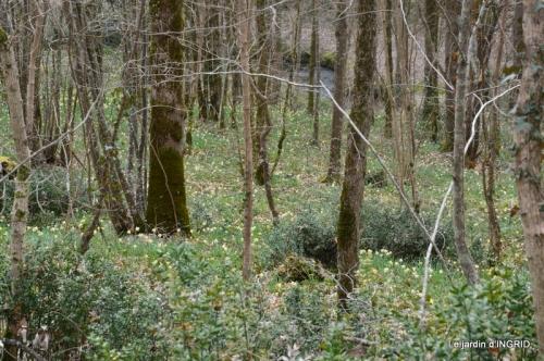 les jonquilles des bois 012.jpg