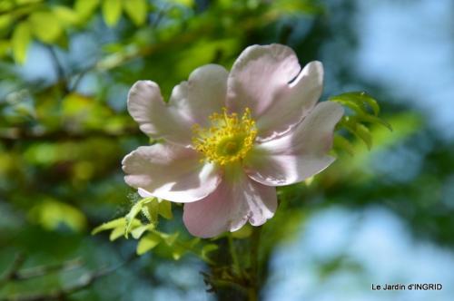 Cadouin,ancolies,roses,pollen,osier,photos Fabien,coquelicots 143.JPG