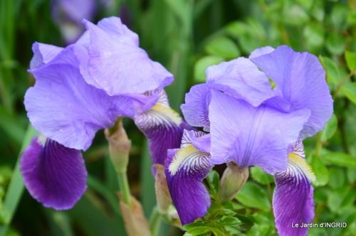 jardin avril,tulipes pivoine,iris d'eau,chenilles 089.JPG