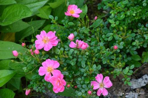 fête de la fraise Vergt,roses jardin 143.JPG