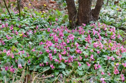pluie,violettes,hélébores,jonquilles,jardin 049.JPG