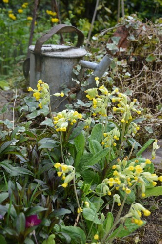 fleurs Ciron,jardin,canards,coucous,mauvaise herbe 120.JPG