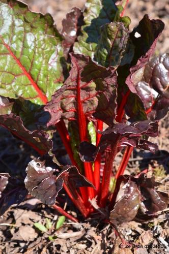 Rouge,narcisse,jardin 030.JPG
