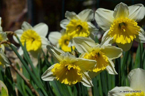 roseaux,narcisses,Nikky,semis,jardin 027-001.JPG
