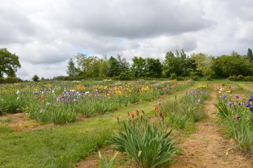 serre,iris,ancolie,iriseraie Papon,moulin 106.JPG