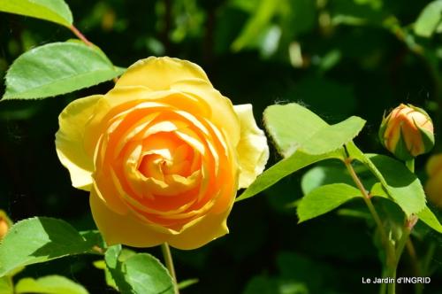 Cadouin,ancolies,roses,pollen,osier,photos Fabien,coquelicots 137.JPG