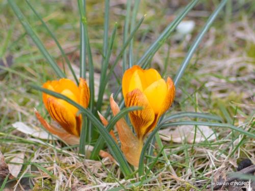 premières fleurs février,la pluie,la fauvette,hélébores 057.JPG