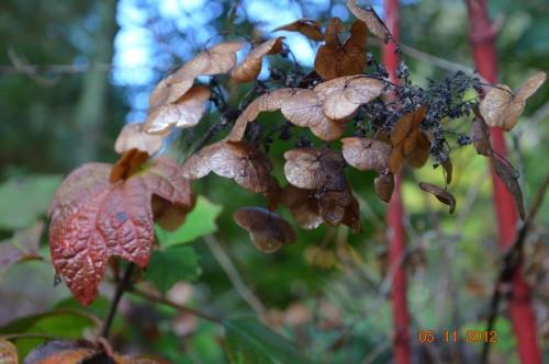 Ciron,feuilles d'automne,safran,taille érable 083.JPG