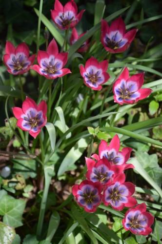 avant tonte,après,euphorbes,tulipes botaniques,autres 037.JPG