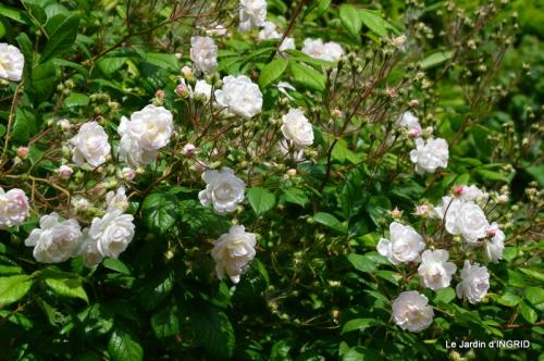Cadouin,ancolies,roses,pollen,osier,photos Fabien,coquelicots 191.JPG