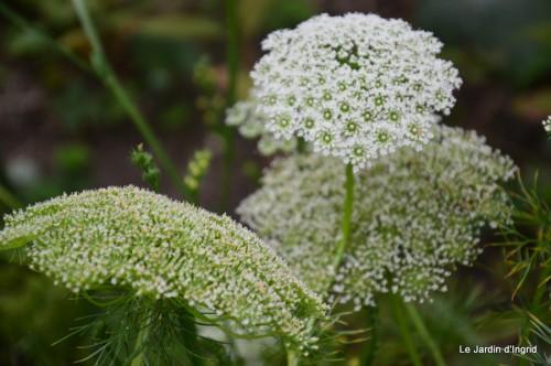 jardin,puces Lasmonzie,asters 068.JPG