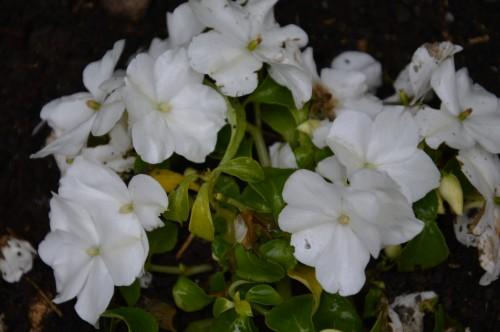 rosiers,fleurs blanches,pollen,magasin 074.JPG