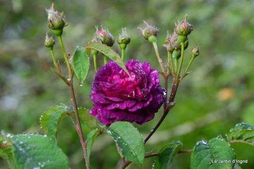 roses,Lalinde,toit cabane,pourpre,eglise,jardin tondue 005.JPG