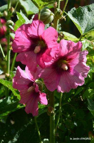 rose trémières,INES,,en ce moment en juin 146.JPG