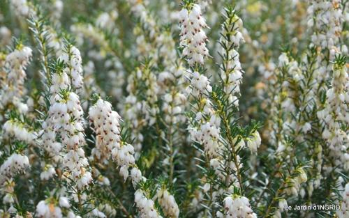 hélébores,bruyères,arbustes fleuries,mésanges 059.JPG