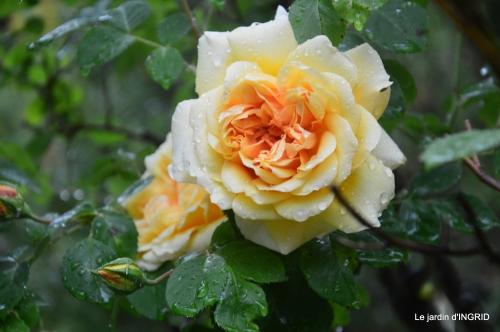 Julie,Lalinde,Cygnes,Roses,Osier à Monbazillac 056.JPG