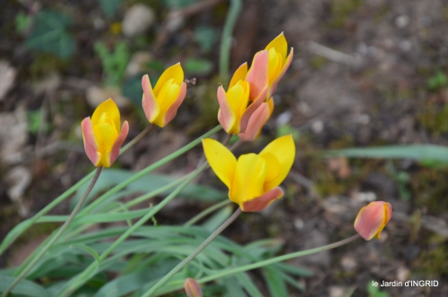 tulipes,Julie,golf,jardin 044.JPG