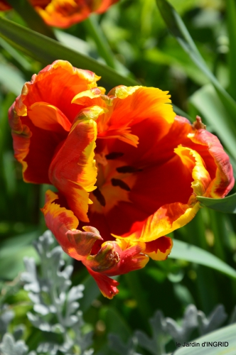 tulipes,Julie,golf,jardin 175.JPG