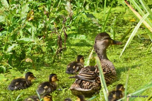 puces Lalinde,bébés canards,au moulin souci 123.JPG