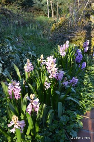 bouquet mamy,jacinthes,semis,jardin 075.JPG