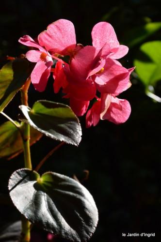jardin,asters,fleurs blanches,chatte,rosiers roses 022.JPG