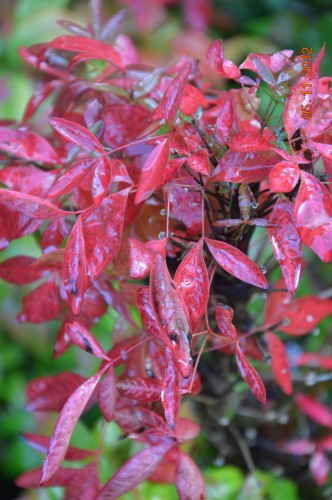 Ciron,feuilles d'automne,safran,taille érable 080.JPG