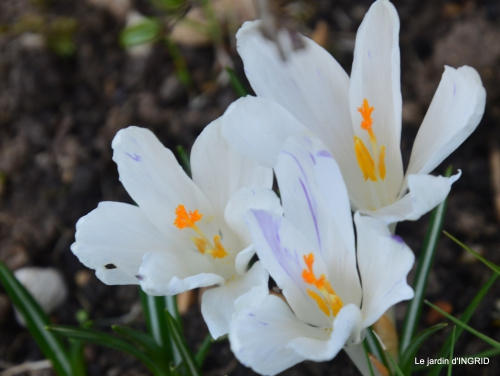 paillage,primevères,jonquilles,jardin 052.JPG