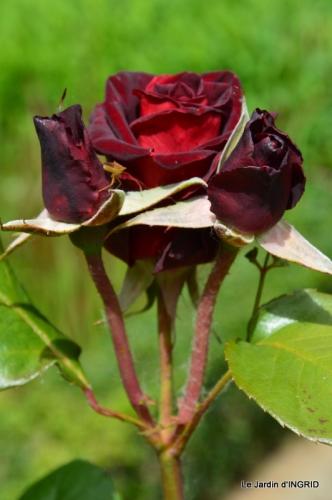 fête de la fraise Vergt,roses jardin 166.JPG