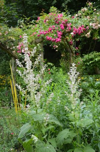 jardin,potager,roses,sauges 054.JPG