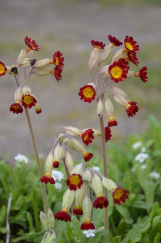 fleurs Ciron,jardin,canards,coucous,mauvaise herbe 002.JPG