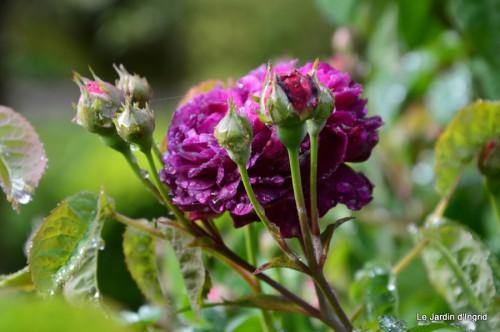 roses,Lalinde,toit cabane,pourpre,eglise,jardin tondue 006.JPG