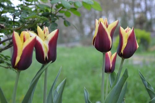 pla.medicinales,lamiers,phlox,arbustes,orchidée 064.JPG