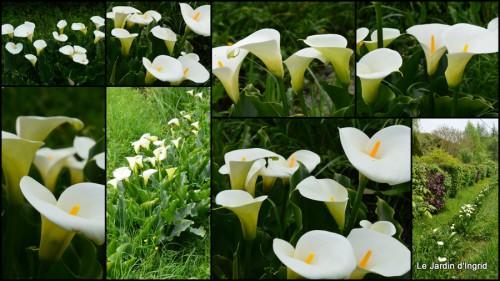 2014-04-18 géraniums,glycine Monpazier,cabane,arums,fleurs sauvages1.jpg
