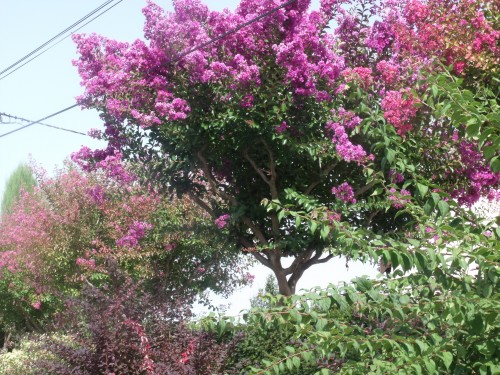 Lagestromia o lilas des indes le paradis d 39 une passionn e - Arbre lilas des indes ...