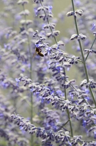 fleurs bleues,hortensia bleu,moi bébé 077.JPG