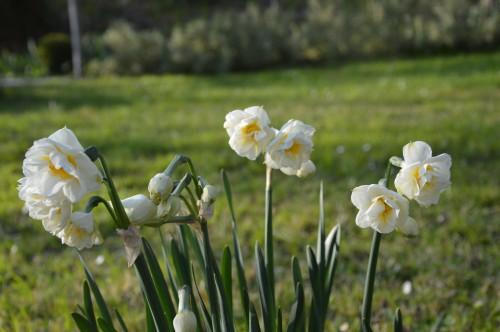 Beaumont,tulipes,primevères et autres,chez Bernadette 061.JPG