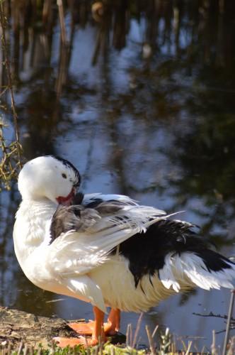 le canard blanc,crocus,petasite,magnolia 050.JPG