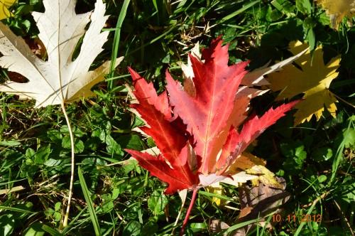 petit érable,le canal et lejardin àl'automne 041.JPG