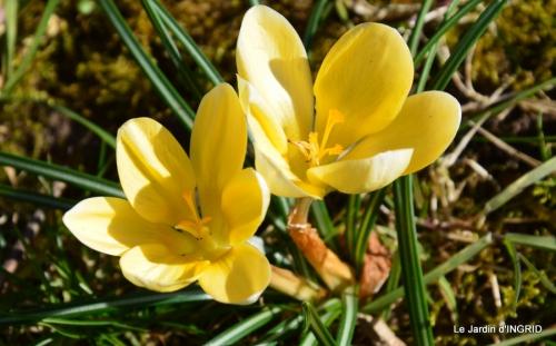 tulipes,crocus ,jardin 030.JPG