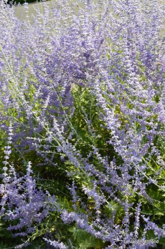 fleurs bleues,hortensia bleu,moi bébé 072.JPG