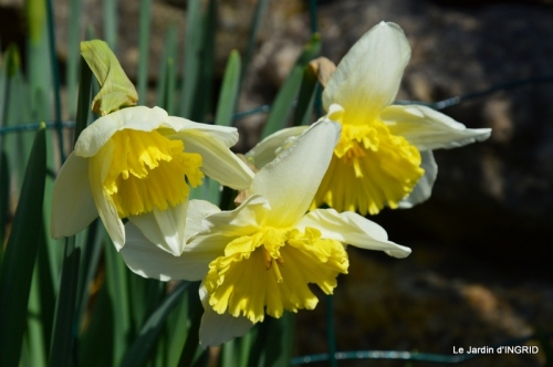 roseaux,narcisses,Nikky,semis,jardin 003.JPG