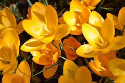 crocus,nichoirs,jonquilles,jardin,coucher du soleil 022.JPG