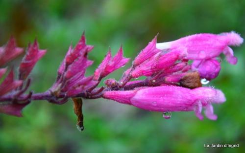 les tons roses,choux frisés,automne 029.JPG
