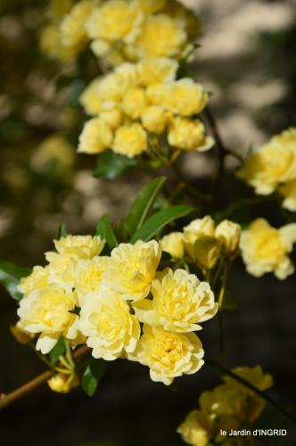 iris,clématite,Max,osier,premieres roses 083.JPG